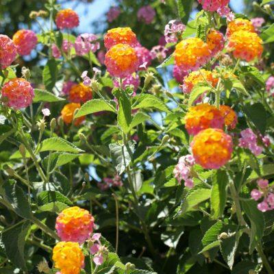 santorini-flowers
